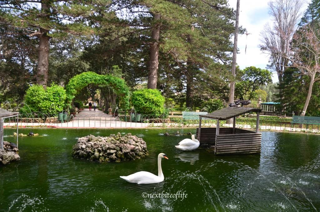 swans in pond at san anton gardens malta