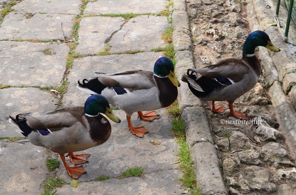 ducks at San Antonio gardens Malta