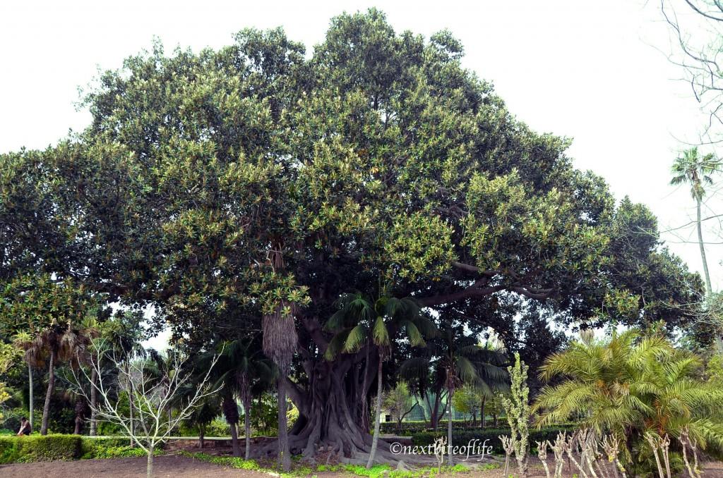 giant older than 300 year old tree at San Anton gardens Malta