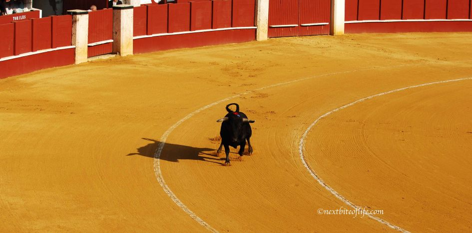 Running Bull bullfighting Spain