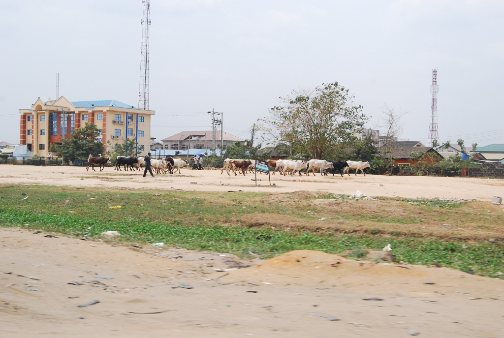 cattle herders nigeria with flock