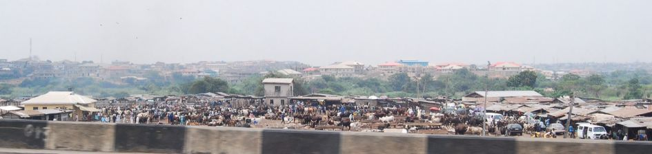 cows waiting to be sold in the market..long shot