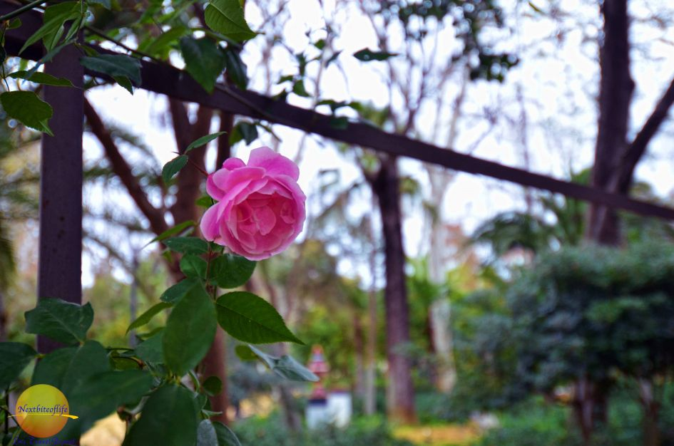 The sweetest smell.. rose at maria luisa park seville