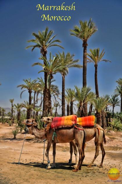 camels in Marrakech Agdal gardens
