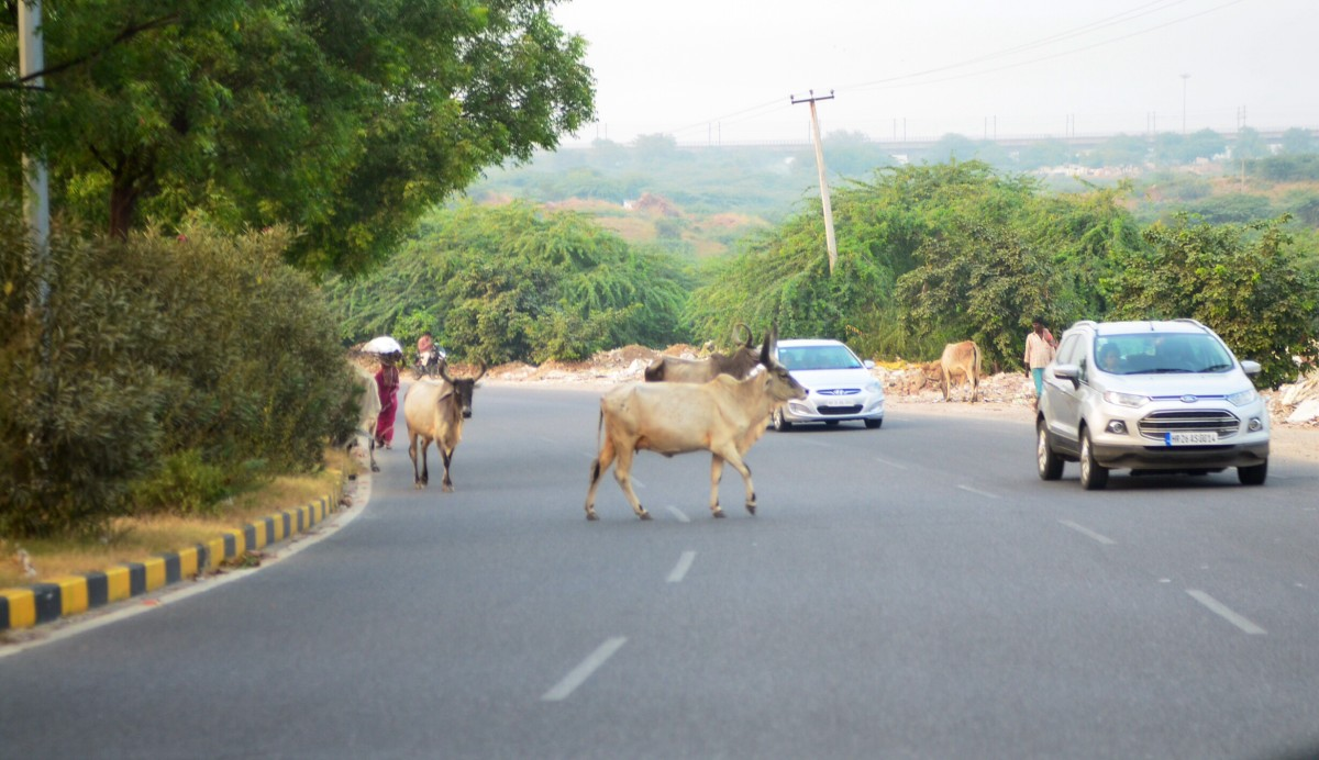 Cow in India on road