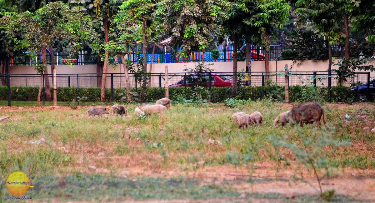 wild hogs in the field of new delhi india