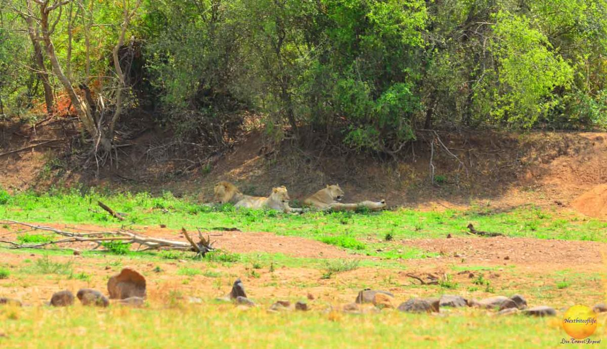 pilanesberg park lions