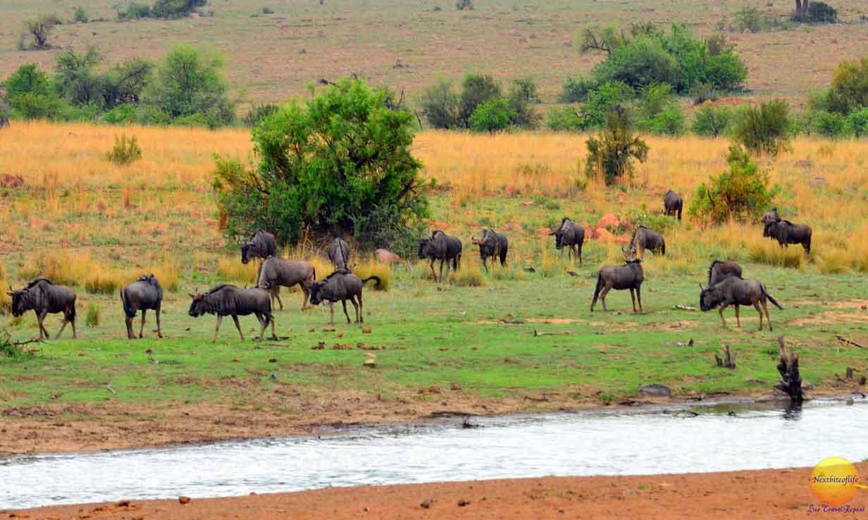 pilanesberg wildebeest herd