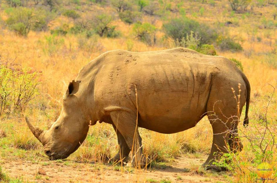 how successful was our big 5 african safari rhino