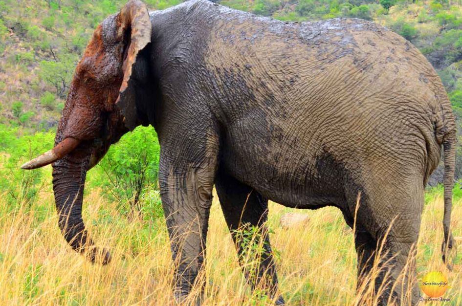 pilanesberg park elephant our biggest find on our big 5 african safari search
