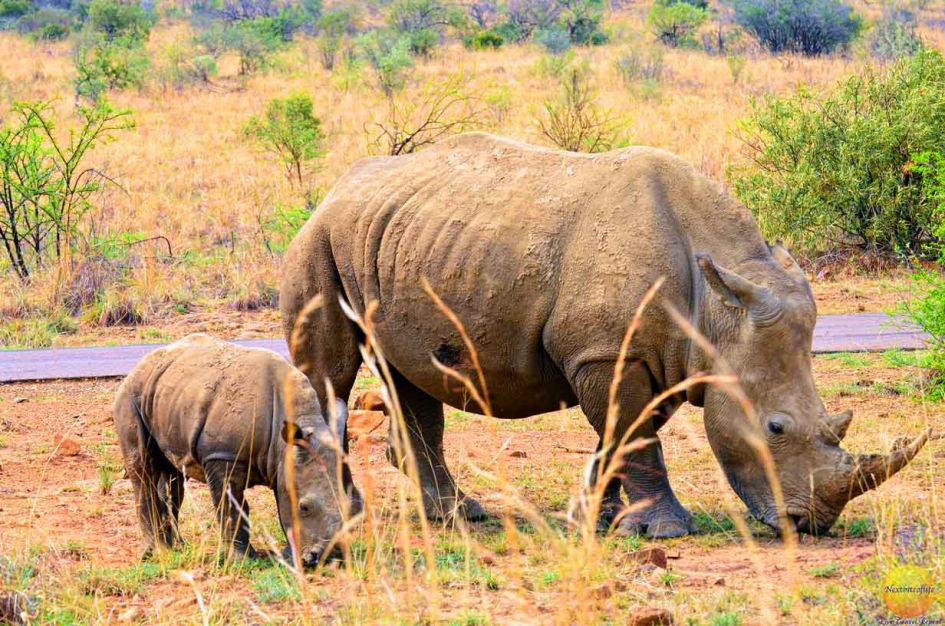 mother and baby rhino grazing pilanesberg on our big 5 south african safari