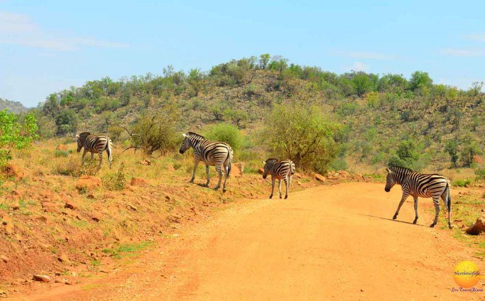 pilaneberg park zebra crossing