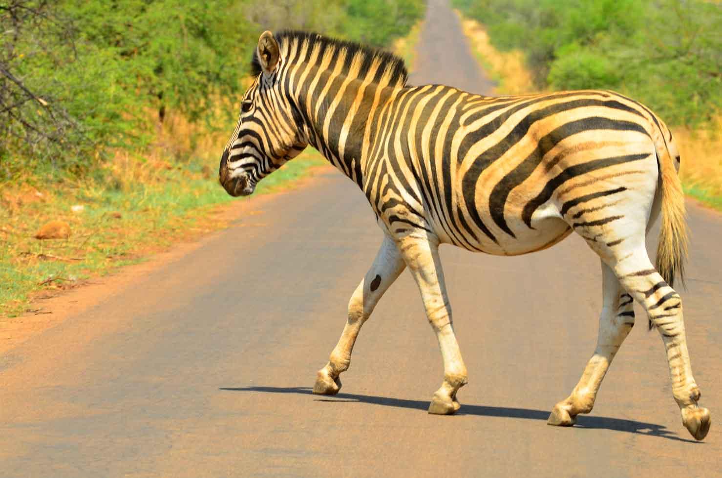 pilanesberg park lone zebra