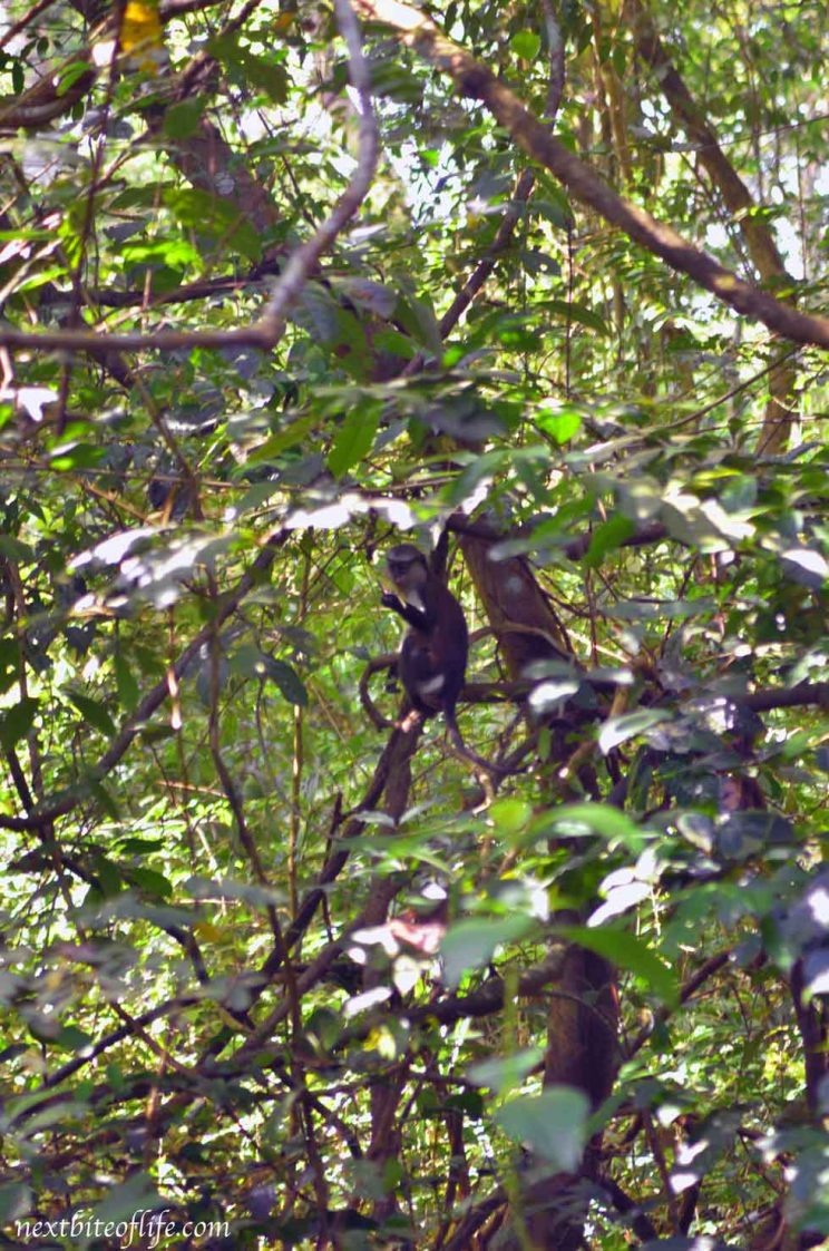 monkey in tree at sacred grove
