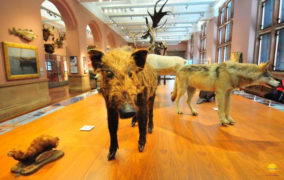 boar kelvingrove museum scotland