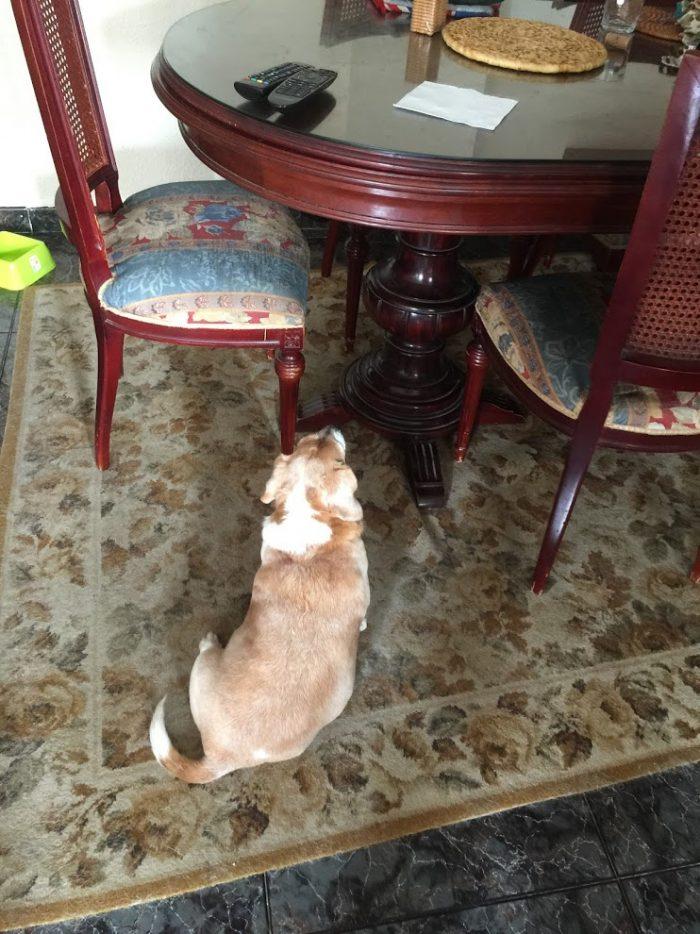 small beagle mix dog with back turned
