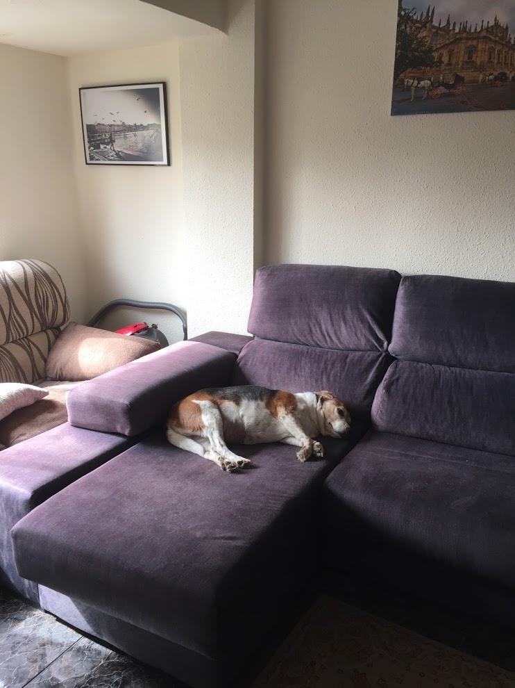 beagle asleep on couch